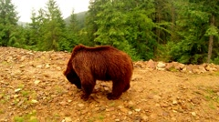 Brown bear on a walk looking for something in the rocks Stock Footage