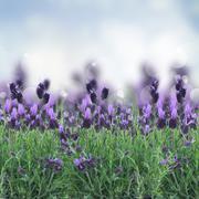 lavender flowers field - stock illustration