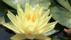 Time lapse opening of water lily flower Arkistovideo