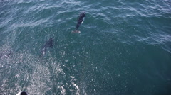 Baby, juvenile killer whales swimming - Orcinus orca, Alaska Stock Footage