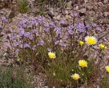 Yellow throat phacelia  (Phacelia fremontii) and Desert Dandelion blooming Stock Footage