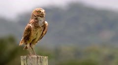 Surprised burrowing owl Stock Footage