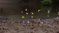 Group of butterflies flying in slow motion Stock Footage