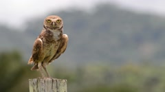 Burrowing owl glaring Stock Footage