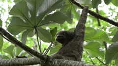 Sloth resting on tree Stock Footage