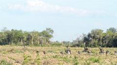Large Flock Of Nandus Rheas Walking On Field Stock Footage