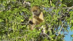 Yellow baboon eating Tamarind fruit Stock Footage