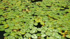 Water lily plant pads, Nymphaeaceae. Stock Footage
