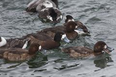 Group of Greater Scaup, Aythya marila Stock Photos