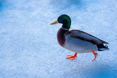 Male mallard duck walking on ice. Stock Photos