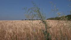 Golden Ripe Wheat Field Summertime Stock Footage