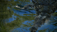 Crocodile or alligator in river Stock Footage