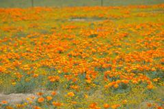 Orange Poppy Field Antelope Valley - stock photo