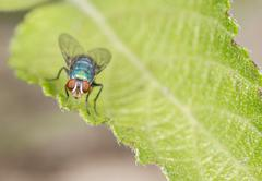 Blow fly on a leaf Stock Photos