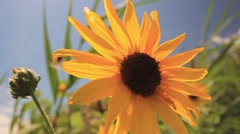 Sunflowers in the wind on a beautiful sunny day - stock footage