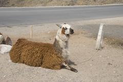 Sitting llama Stock Photos