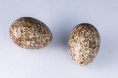 rufous hornero eggs - stock photo