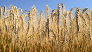 Stock Video Footage of detail of wheat field, panning