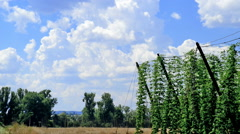 landscape with sky and hop garden, time lapse - stock footage