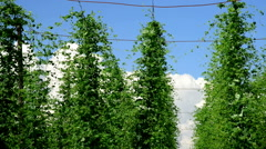Hop garde in the june, time lapse Stock Footage