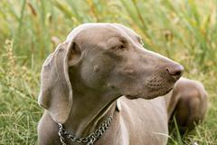Weimaraner dog on the grass Stock Photos