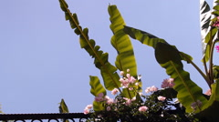 Pink flowers and leaves of the banana, tropical garden Stock Footage
