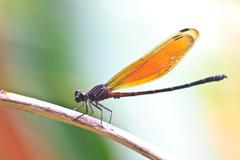 dragonfly sitting on a branch - stock photo