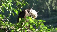 American bald eagle preening Stock Footage