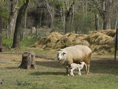 ewe and lamb - stock photo