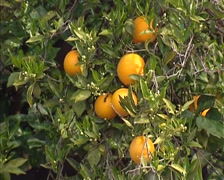 Orange fruit on branch.  Orange trees are grown for their sweet fruit Stock Footage