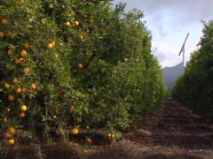 Orange grove, California - pan citrus plants, orange tree Stock Footage