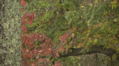 Early fall colors closeup tree bark leaves and soft bkgrnd Stock Footage