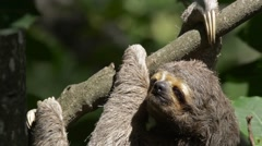 Sloth hanging on tree - stock footage