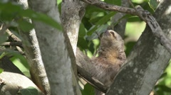 Sloth moving on tree Stock Footage