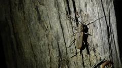 Cerambycidae walking and sitting on tree Stock Footage