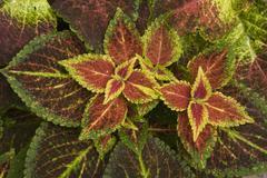 coleo coleus - stock photo