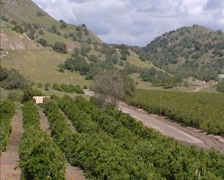 Orange grove in valley, Fresno, California - high angle + pan Stock Footage