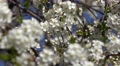 4K   White flowers on blossoming cherry tree  on a sunny spring day. Footage