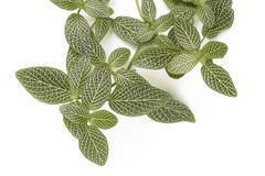 nerve plant - stock photo