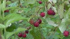Wild raspberry bush with  berry and wind Stock Footage