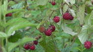 Stock Video Footage of wild raspberry bush with  berry and wind