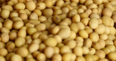 4k pick soybean beans by hand,seed food raw material,delicious dishes soya bean Stock Footage