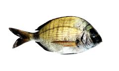 Black Bream Fish - stock photo