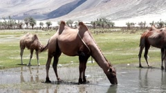 Camel drinking Water Stock Footage