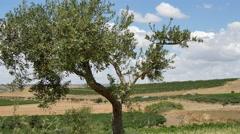 Mediterranean olive tree windy day 4k Stock Footage