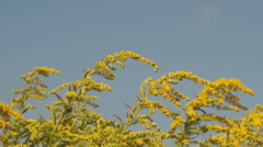 Stock Video Footage of goldenrod meadow