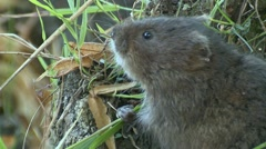 Water Vole (Arvicola amphibius) slow motion close up of eating Stock Footage