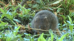 Water Vole (Arvicola amphibius) slow motion. Selects plant stem and eats Stock Footage