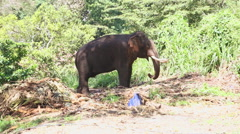 Elephant in natural surroundings near the Temple of the Tooth in Kandy. Stock Footage
