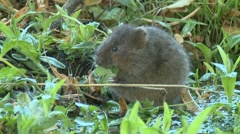 Water Vole (Arvicola amphibius) Slow Motion. Sitting, eating leaf completely Stock Footage